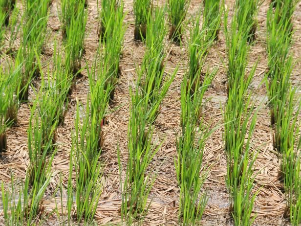How To Grow Rice Growing Rice Ornamental Plants Rice Plant