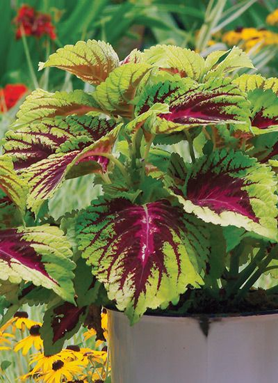 Best Foliage Plants for Containers: Every container needs a couple of foliage plants. You can't beat the long-lasting impact and easy care! Here are 11 of the best foliage plants for containers.