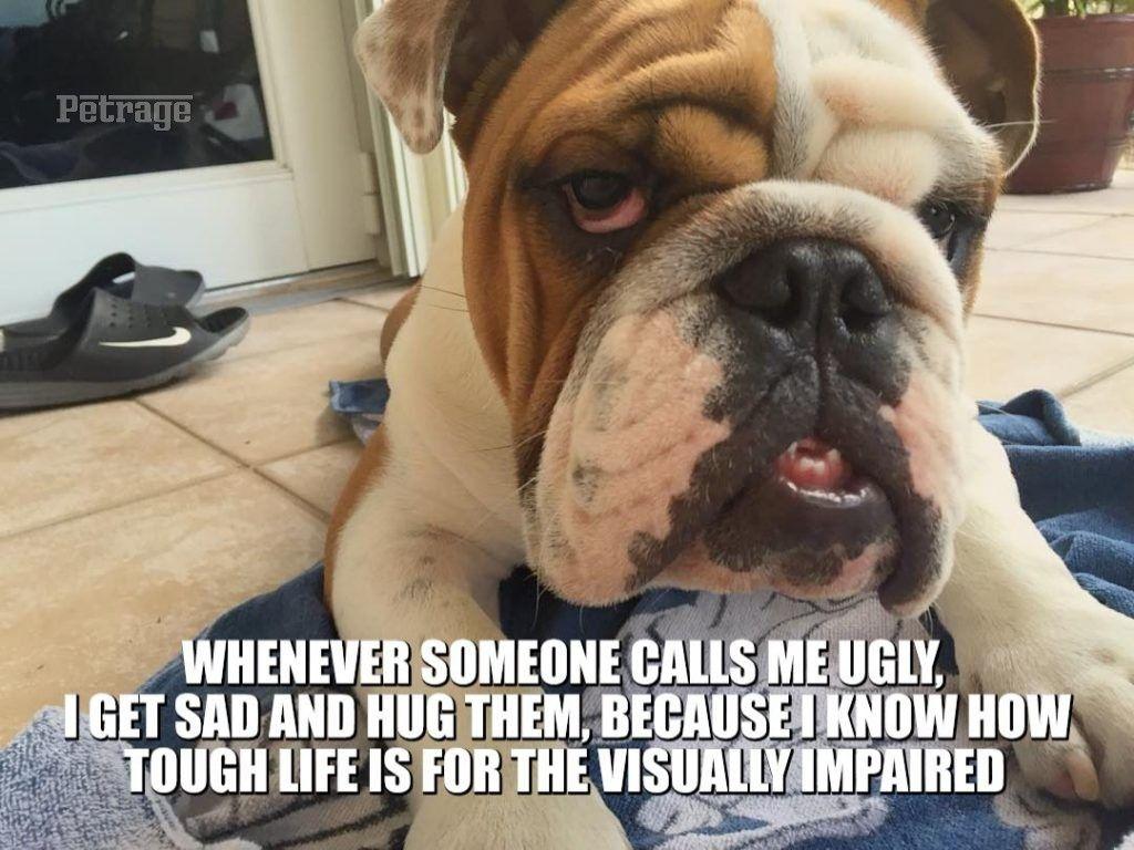 Beautiful Buddy The Bulldog Meme Bulldog Meme Bulldog Funny Bulldog