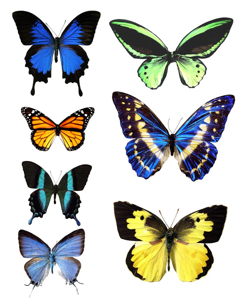 photo relating to Printable Butterfly Pictures named erfly template printable transfer in the direction of printable illustrations or photos of