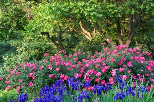 Roses In Garden: Knockout Roses With Irises For Spring And Lavender For