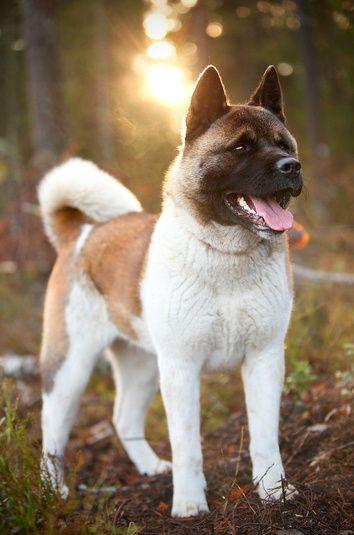 American Akita Tumblr Best Guard Dogs American Akita Akita Dog