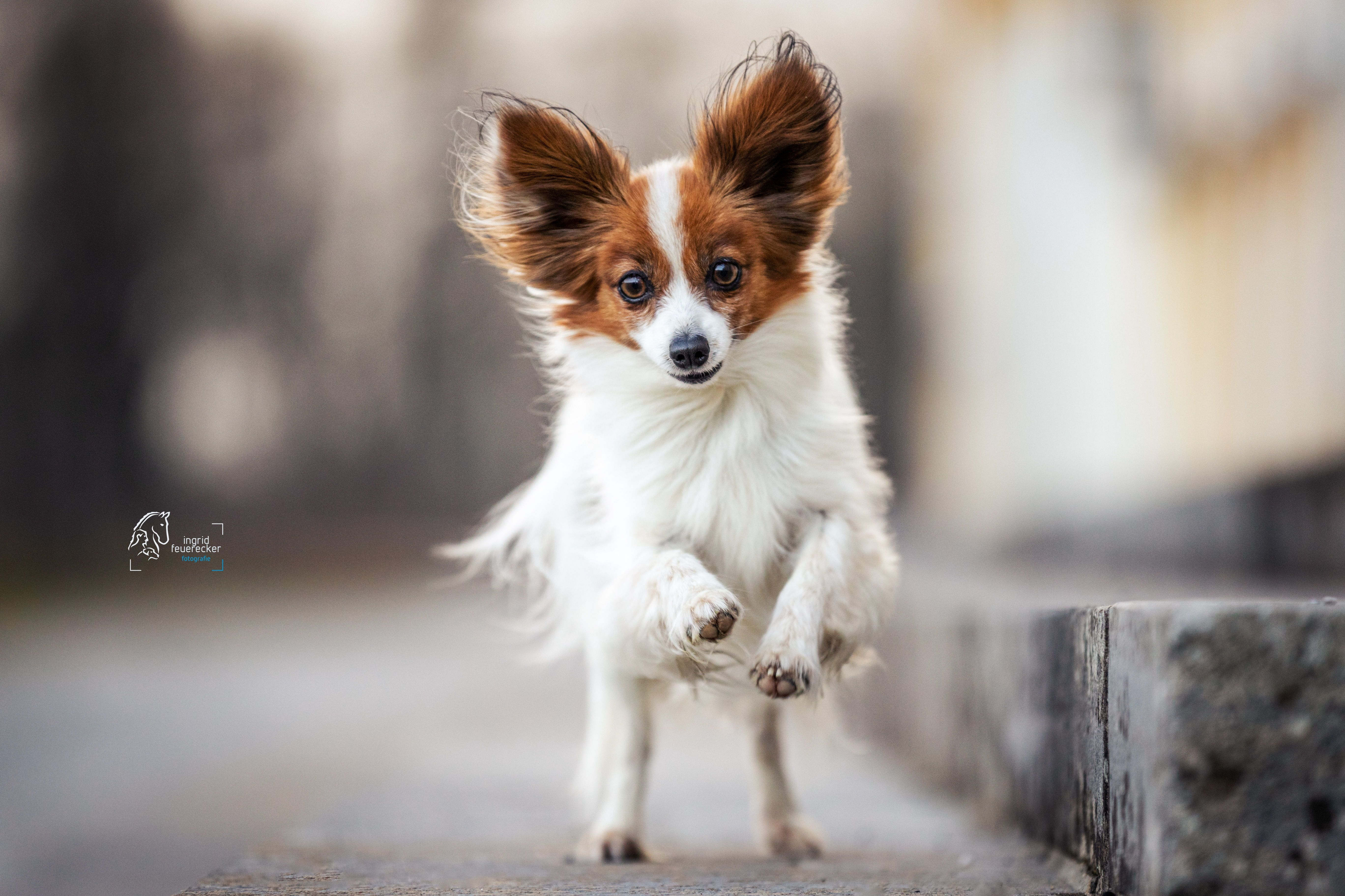 Papillon Chili Vollgas In 2020 Hundefotografie Tierfotografie Hund Portraits