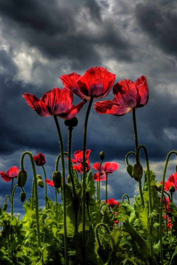 Storm Brewing Pipacs Pinterest Poppies Flowers And California