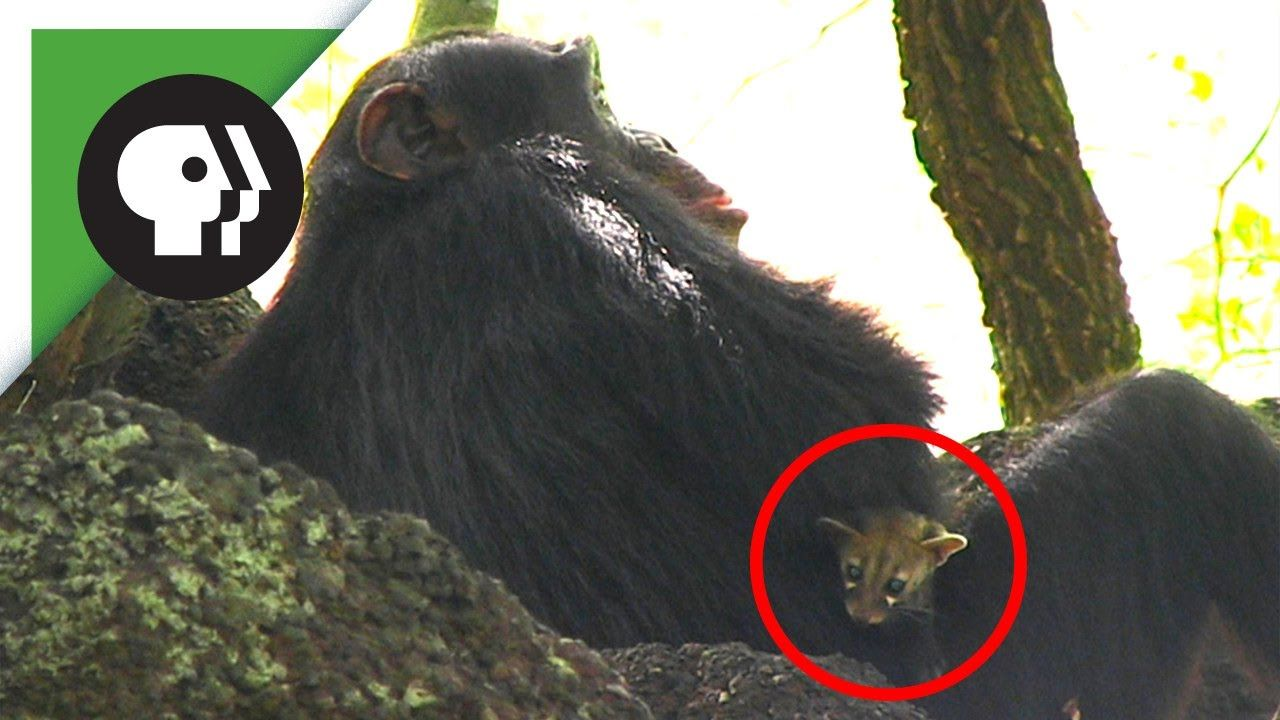 A Bushbaby Spy Camera Captures The Gentle Relationship Between A Chimp And A Genet Kitten Kitten Chimp Animal Stories
