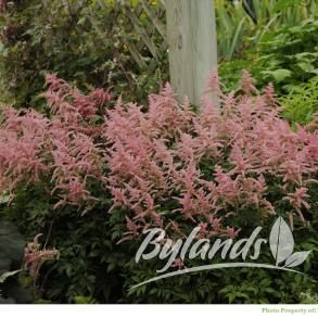 Bressingham Beauty Astilbe - Astilbe x arendsii 'Bressingham Beauty' | Bylands Nurseries Ltd.