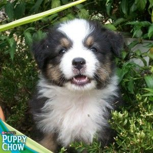 Cute puppy in the bushes! Purina® Puppy Chow®