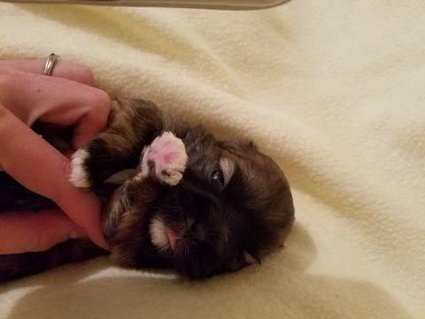 Litter Of 9 Shih Tzu Puppies For Sale In Belleville Mi Adn 43330