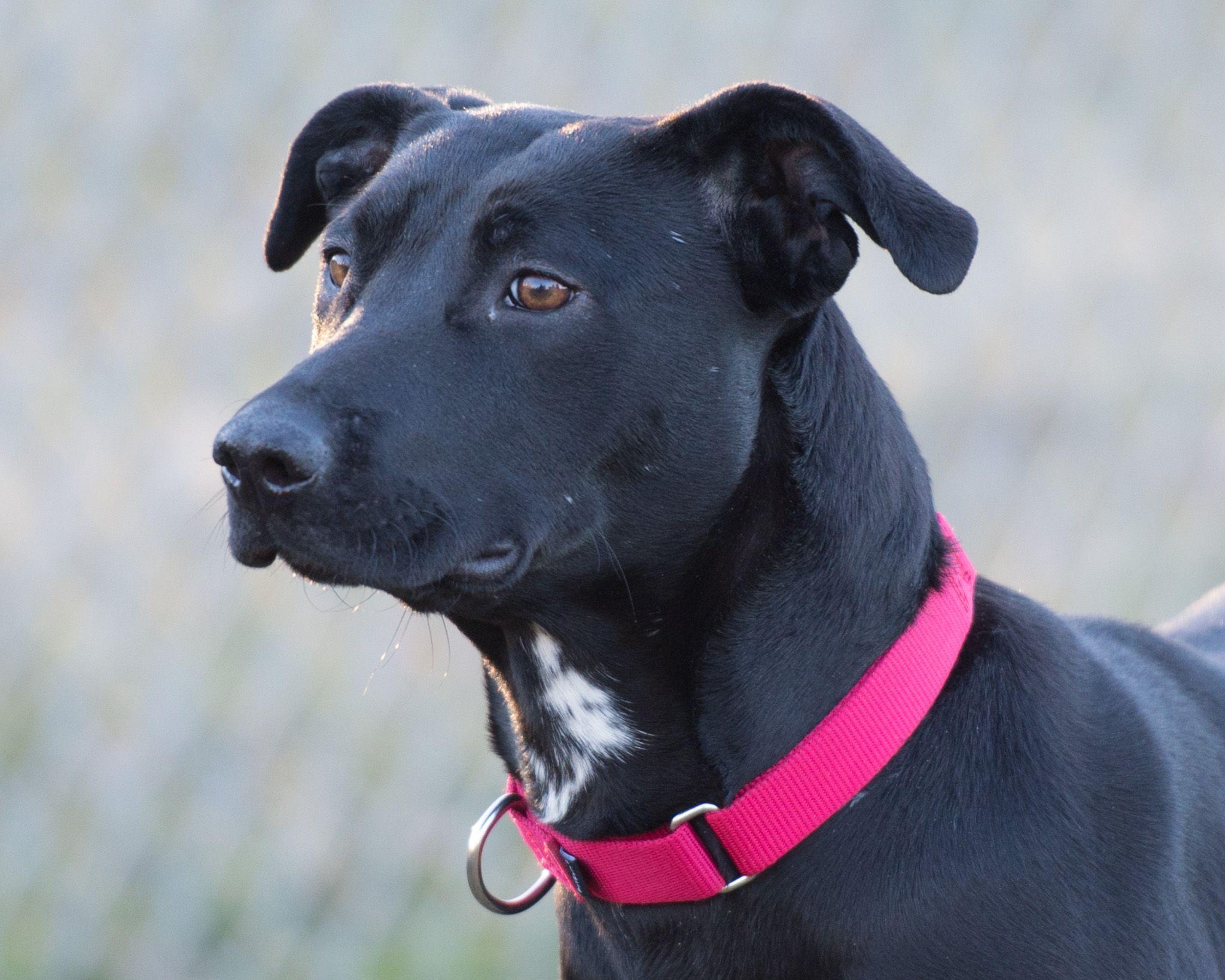 Labrador retriever dog for adoption in howell mi adn
