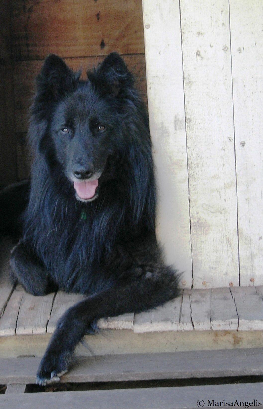 Belgian Shepherd Groenendael Known As A Sheepdog In The