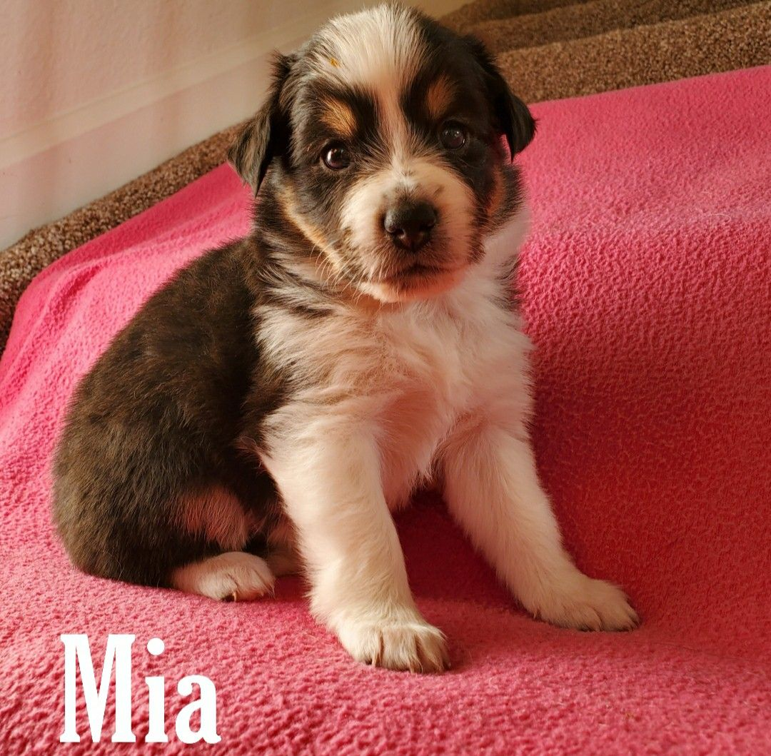 Australian Shepherd puppy for sale in Colorado in 2020