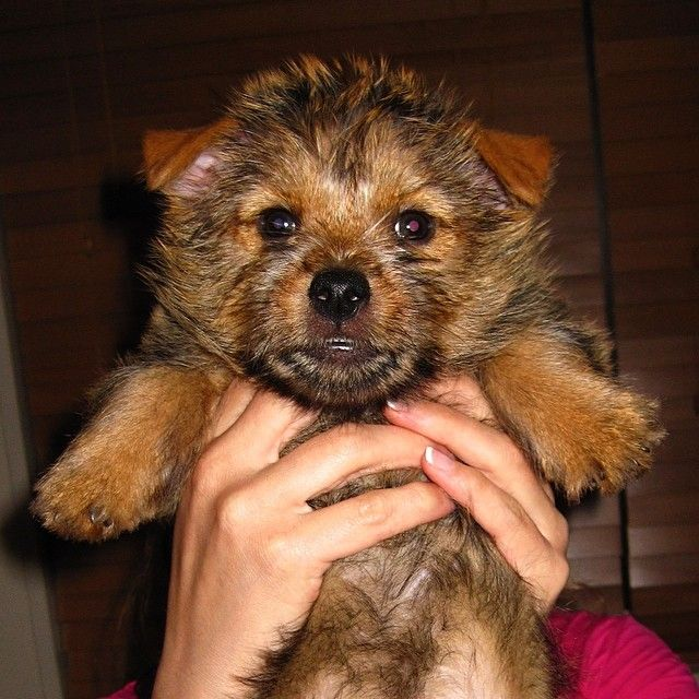 Norwich Terrier Puppy Teddythenorwich On Instagram Norwich Terrier Puppy Norwich Terrier Terrier