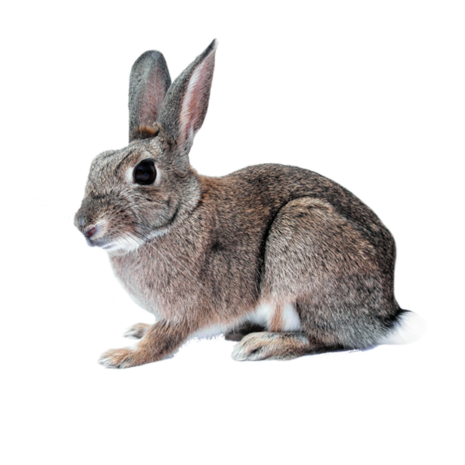Rabbit Cutout From Public Domain Image Rabbit Pictures Pets Animals