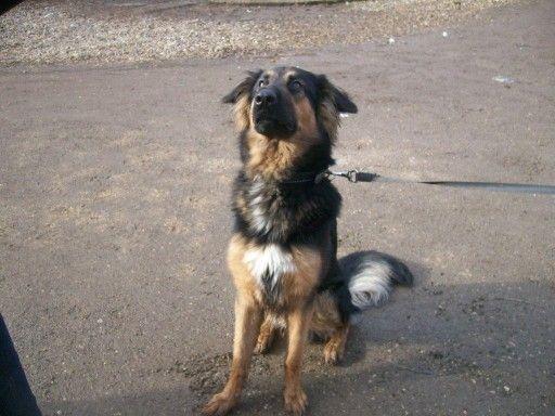 German Shepherd Cross Logan At The Animal Rescue Charity