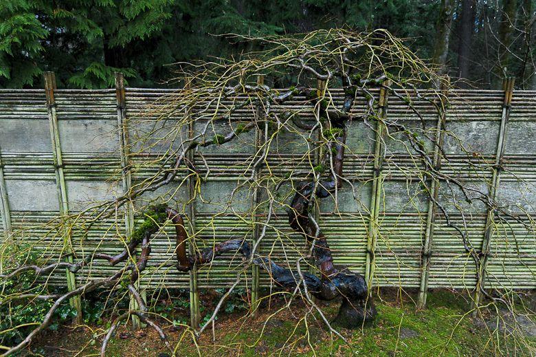 Jon Maxson Photograph An Espaliered Japanese Maple On A Bamboo