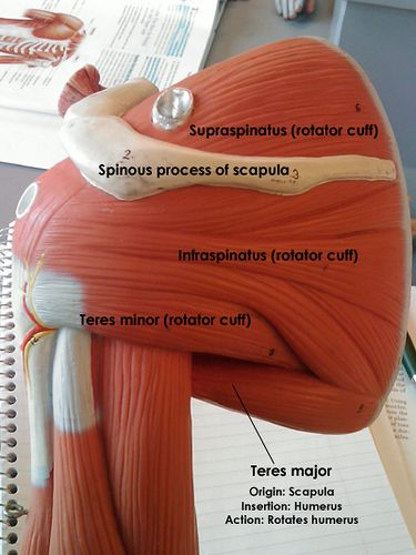 Rotator cuff muscles, posterior view   Action images, Scapula and ...