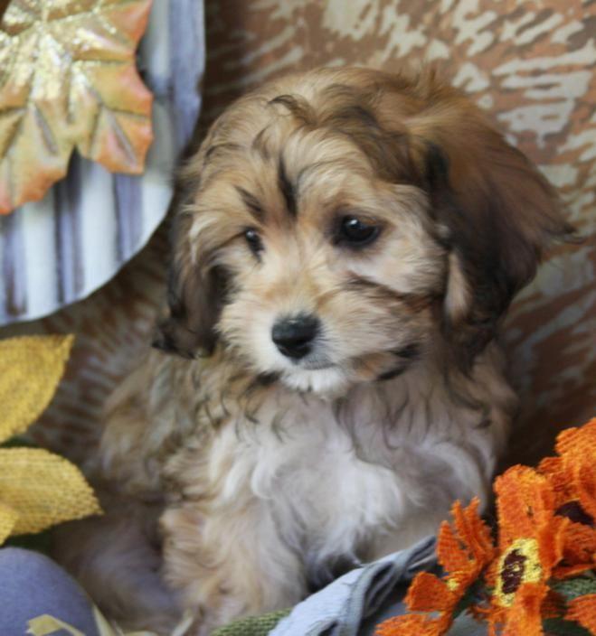 Available Cavachon Puppies Foxglove Farm Cavachon Puppies Cavachon Cute Dog Pictures