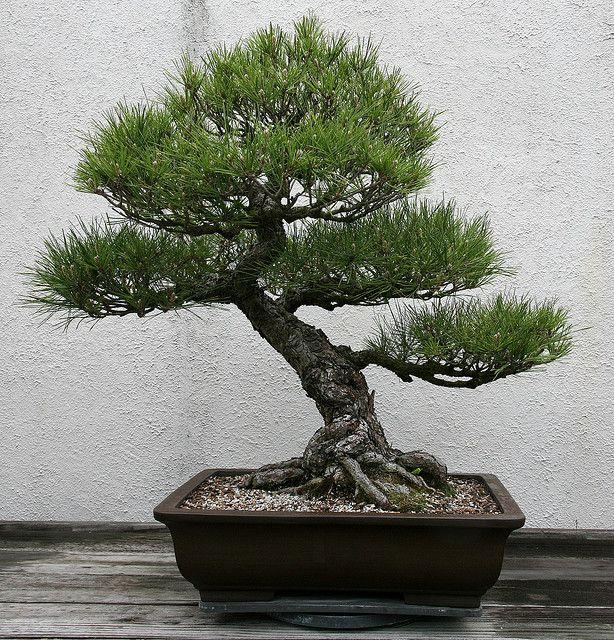 Japanese Black Pine Pinus Thunbergii Black Pine Bonsai Pine Bonsai Japanese Black Pine