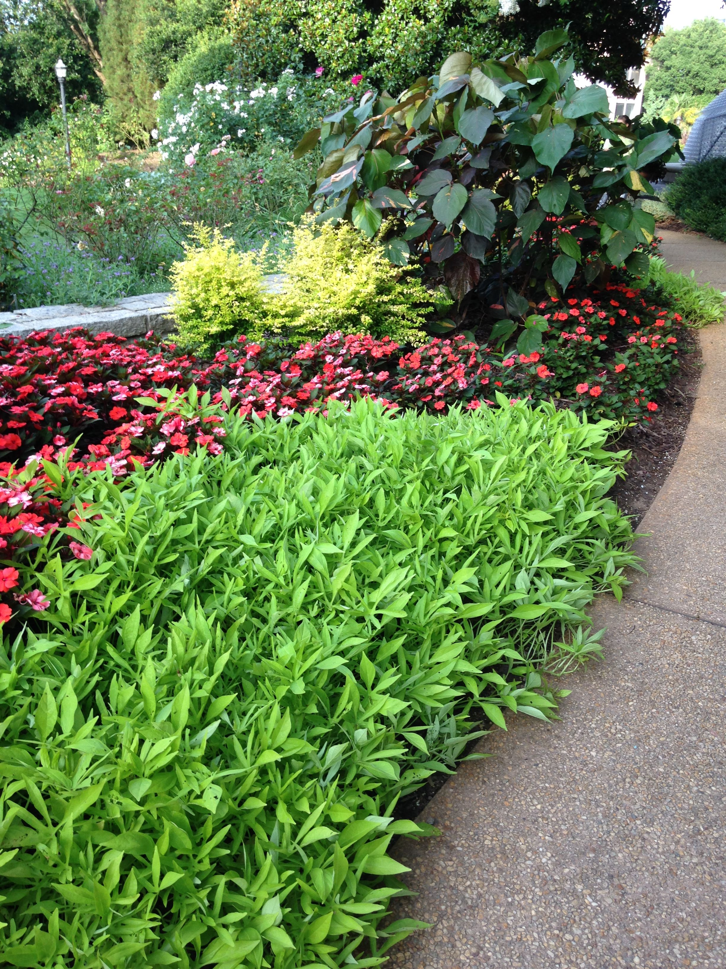 Sunshine Ligustrum at the Atlanta Botanical Gardens