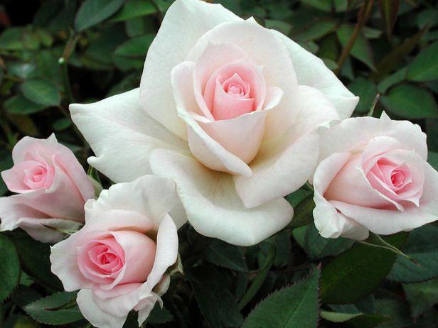 Celebrity Roses Rose Varieties Hybrid Tea Roses Beautiful Roses