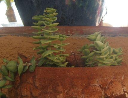 Succulent in a terracotta half round turtle