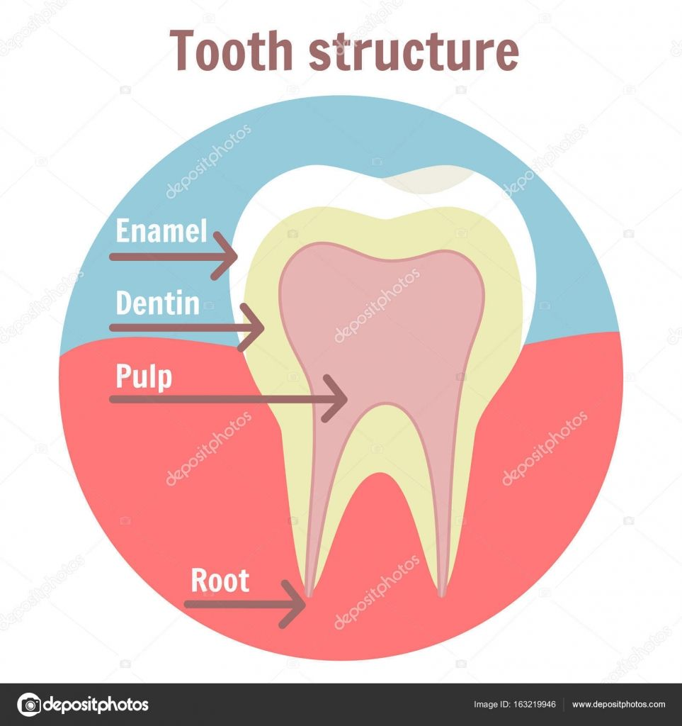 Download Royalty Free Dental Tooth Structure Medical Diagram Of The Structure Of Human Tooth Dent Dental Teeth Medical Illustration Medical School Motivation