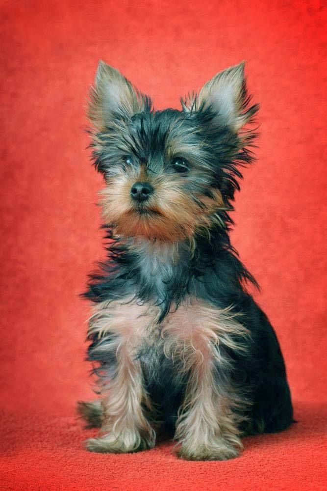 Beautiful Yorkies Like This One Deserve Yorkie Puppy Names Chosen For Just Breed Here