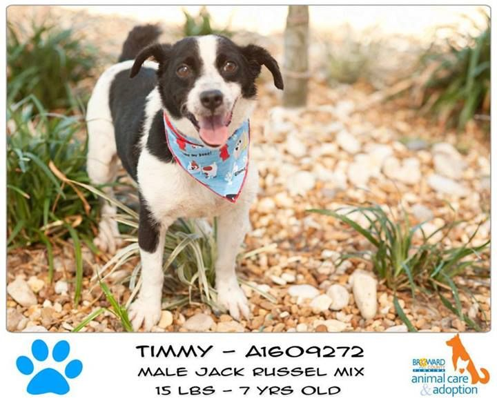 Timmy Id A1609272 Jack Russell Terrier Mix 7 Years 15 Lbs Hi I M Timmy At 15 Lbs I M Just A Little Guy But I Ha Dog Adoption Animals Homeless Pets