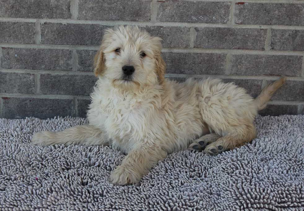 Sandy a female Goldendoodle puppy for sale from Indiana