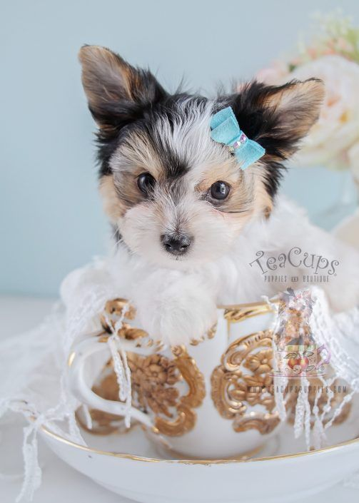 Biewer Yorkie Puppy By Teacup Puppies