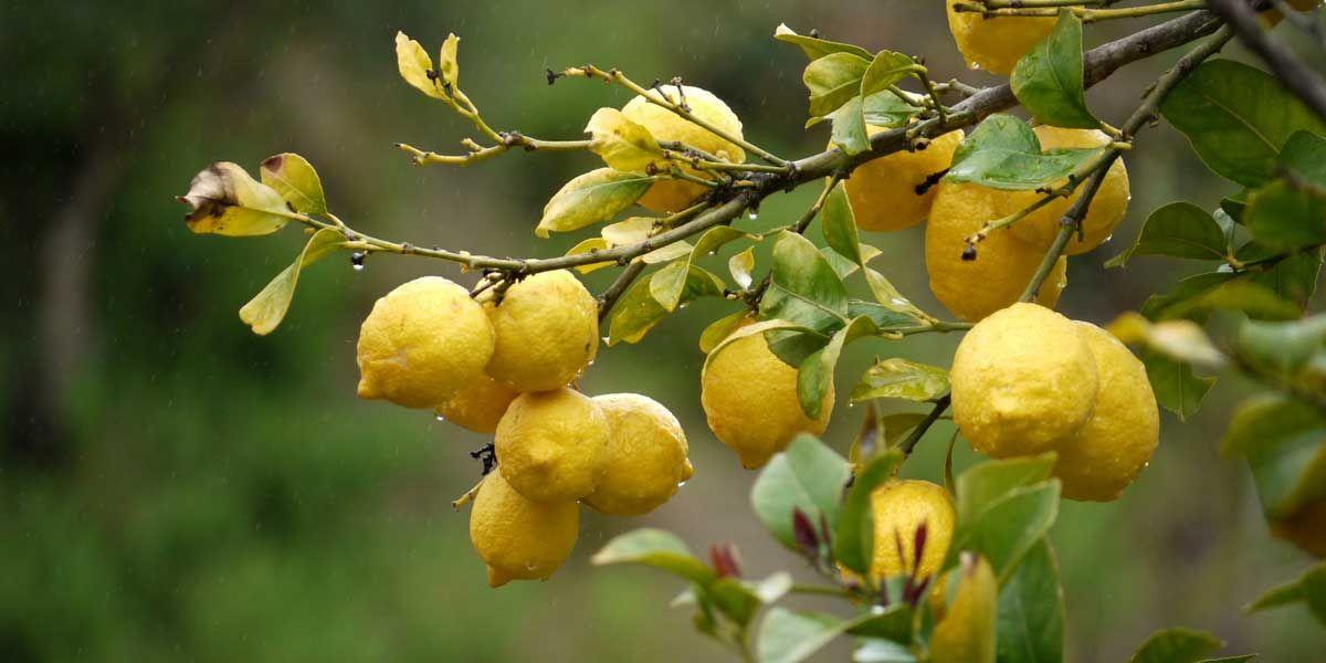 citronniers orangers et autres agrumes les planter et. Black Bedroom Furniture Sets. Home Design Ideas