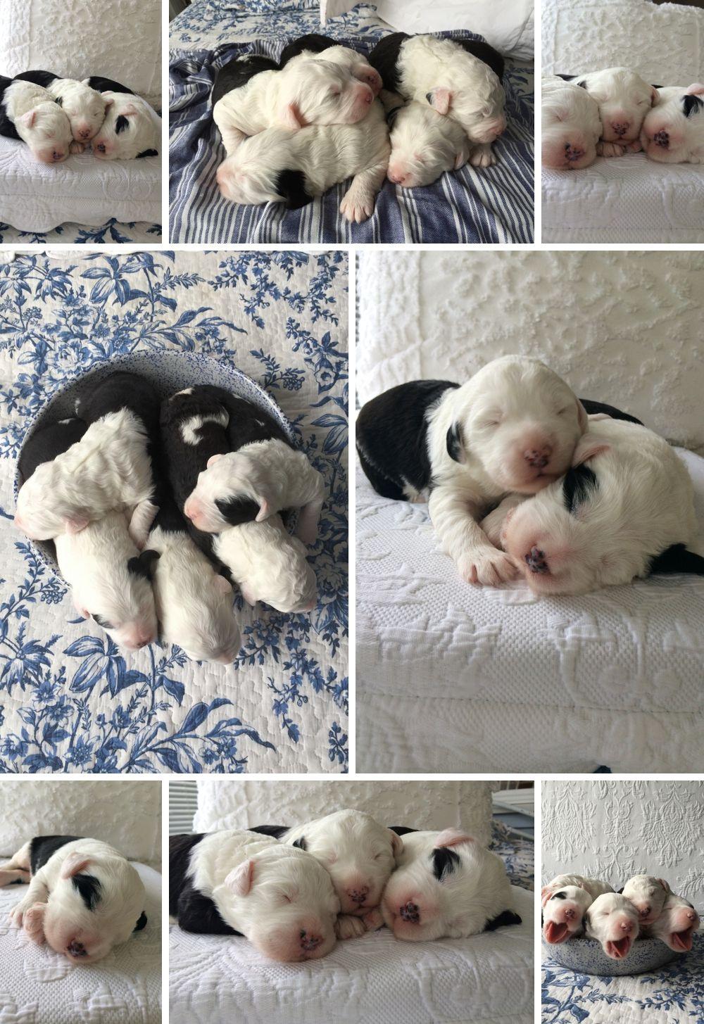 Old English Sheepdog Puppies Old English Sheepdog Puppy