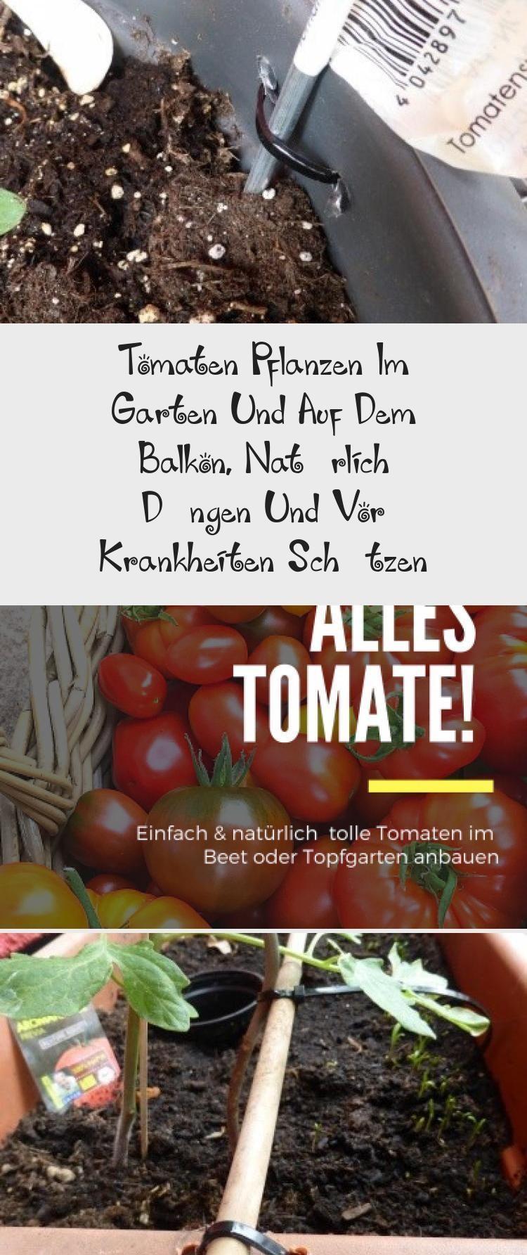 Tomaten Pflanzen Im Garten Und Auf Dem Balkon Naturlich Dungen Und Vor Krankheiten Schutzen Tomatenpflanzen Tomaten Pflanzen Aber Richtig Standort Naturlic