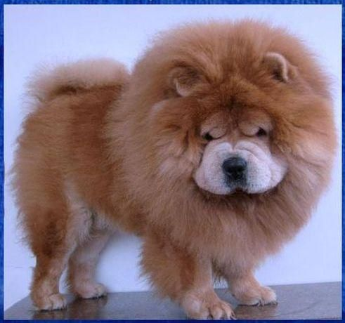 Mini Chow Chow They Re Like Little Lions