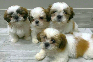 Kuwait Dogs And Puppies Adoption And Sales Email Us At Khaleelsalafi Hotmail Com Imperial Shih Tzu Puppies Puppy Adoption Shih Tzu Puppy Puppies