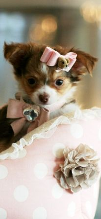 Chihuahuas For Sale Teacup Chihuahua Dogs Animals That Melt My