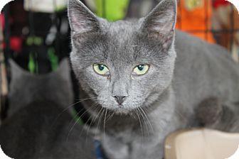 Flemington Nj Russian Blue Meet Grey A Kitten For Adoption Kitten Adoption Russian Blue Grey Cats