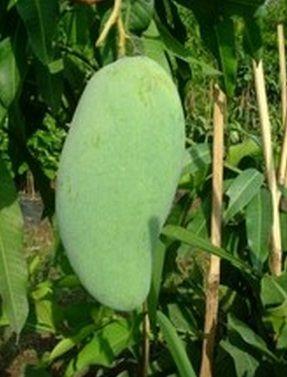 Nama Latin Pohon Mangga : latin, pohon, mangga, Tanaman, Mangga, Golek, India, Tanaman,, Buah,