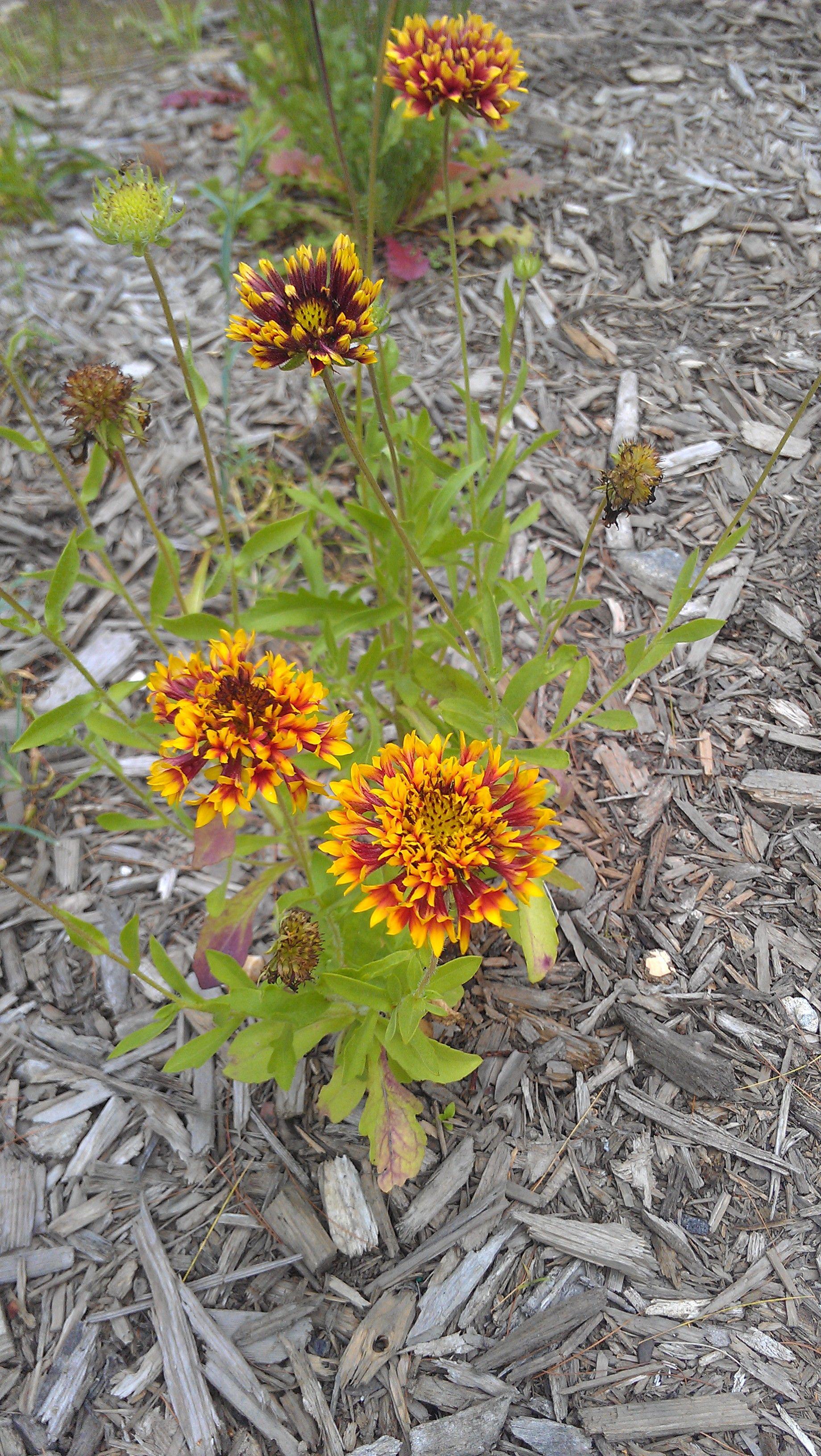 In new garden sundance bicolor gaillardia pulchella