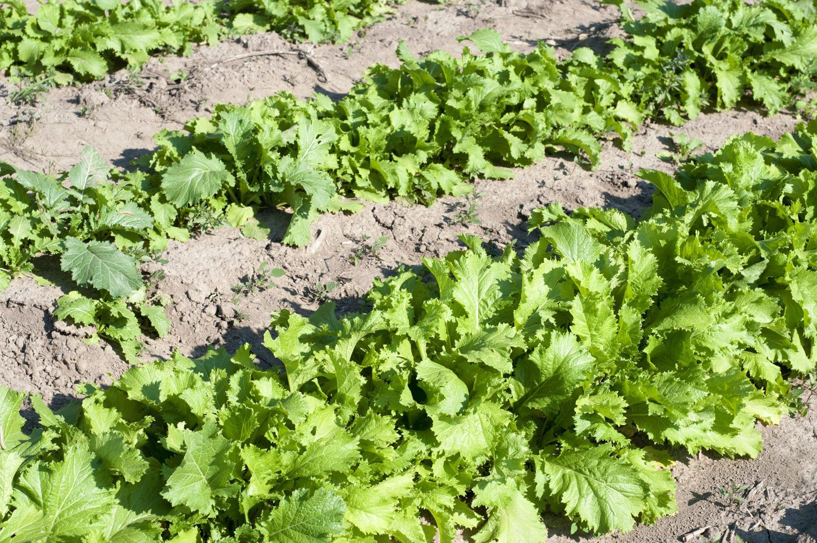 Drought Resistant Vegetables Growing Drought Tolerant 400 x 300