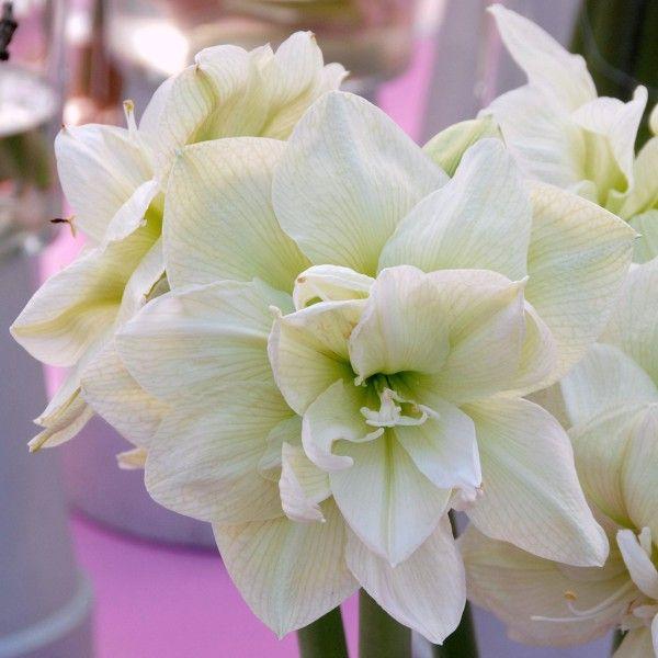 39 marilyn 39 ist eine wundersch ne wei e amaryllis die zwiebeln kommen ab november in die. Black Bedroom Furniture Sets. Home Design Ideas