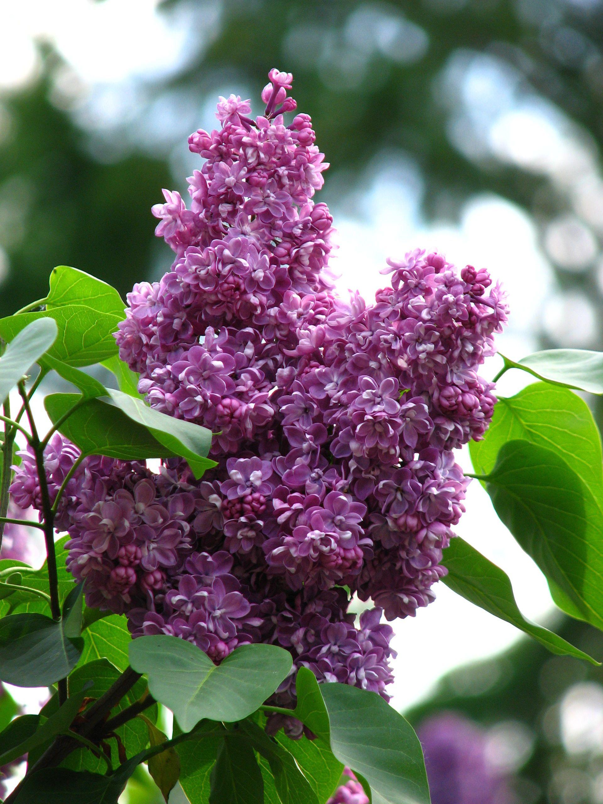 Syringa Pavlinka 03 Syringa Wikipedia Syringa Lilac Plant Plants