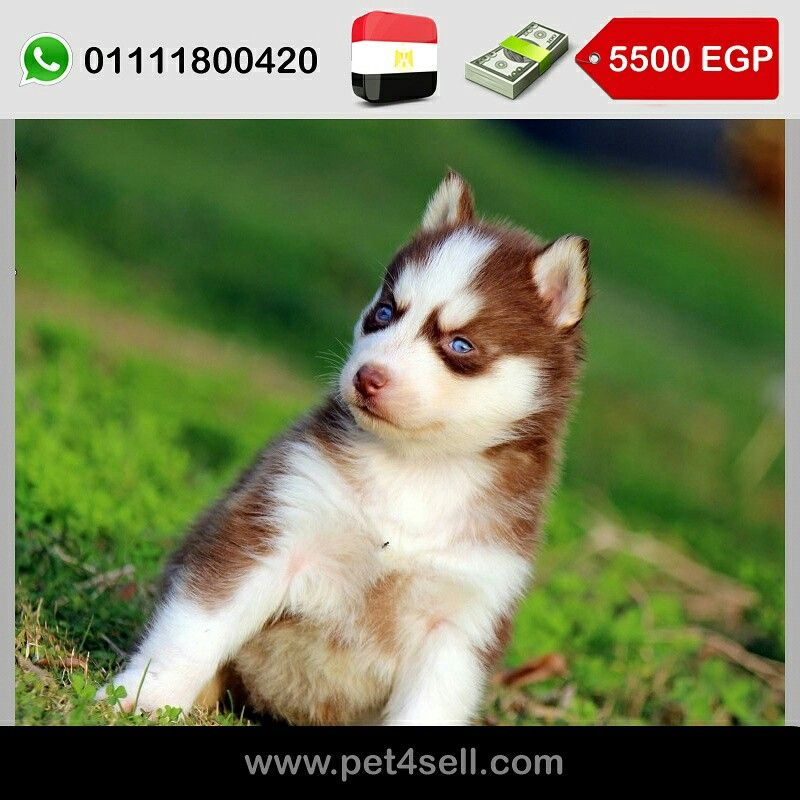 Egypt Cairo Pure Siberian Husky Puppies For Sale Vaccinated And