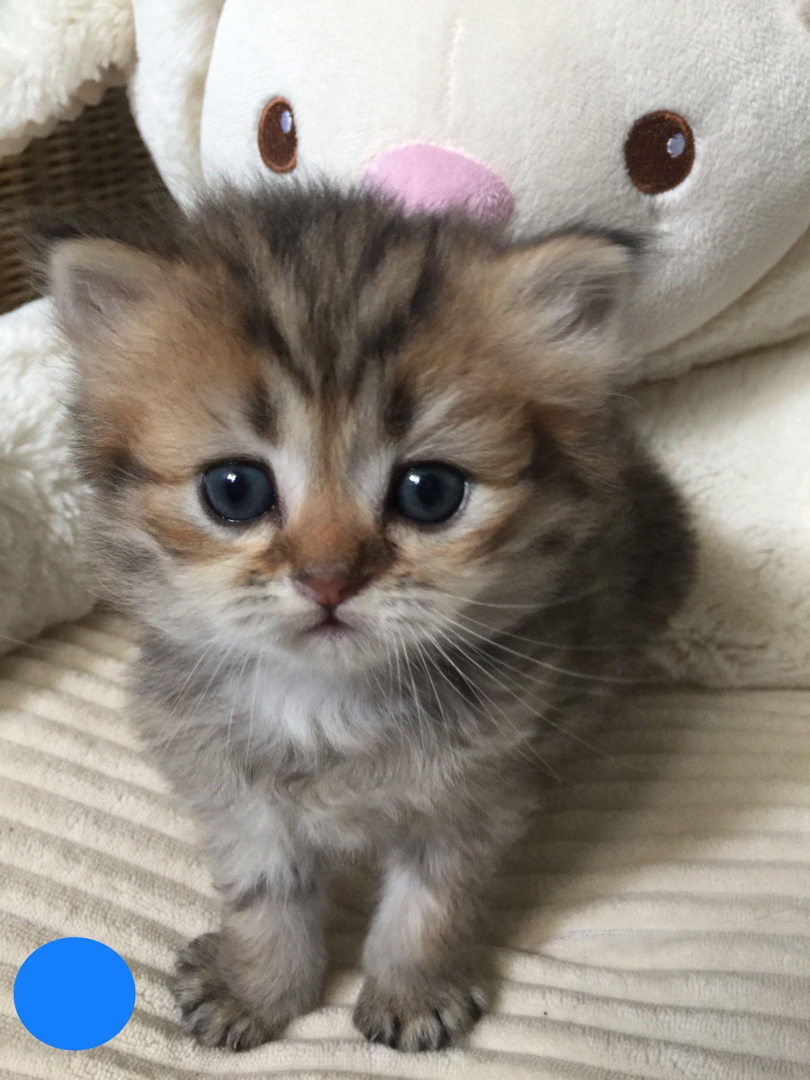 Golden Boy Kittens Cutest Cute Baby Cats Kittens