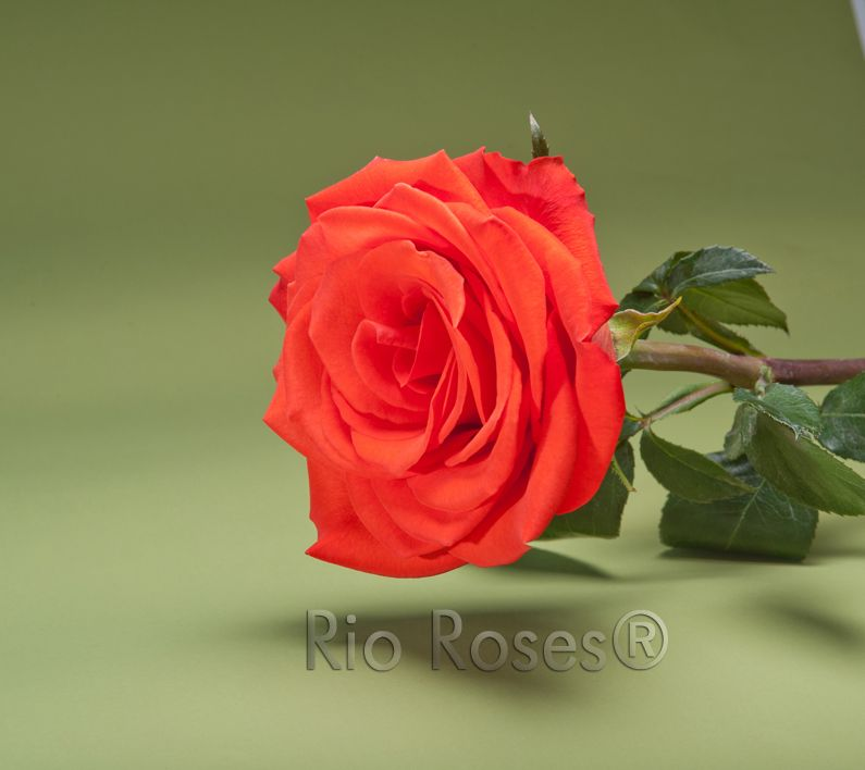 Rio Santana Dark Orange Large Bud High Petal Count Opens 80 8 10 Day Vase Life Available In 40 70 Cm Rose Rose Varieties Beautiful Flowers