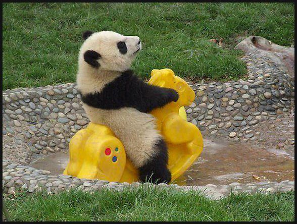 """Baby panda. This is the cutest thing I""""ve seen in a long time..lol."""
