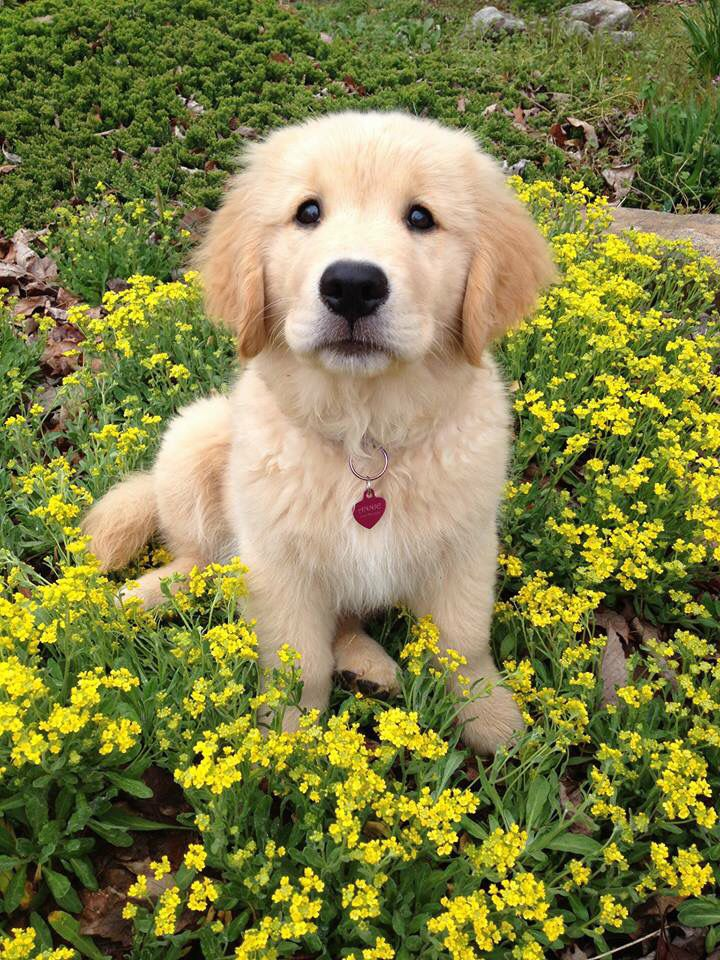 Pin By Julie Burt On Sweet Babies Dogs Golden Retriever Cute