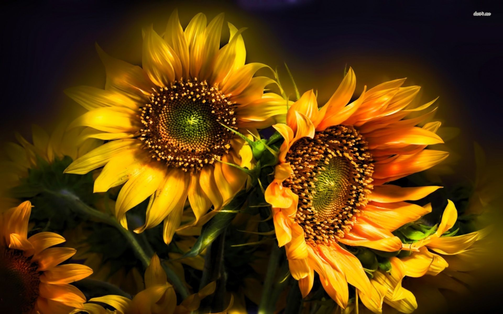 1920x1200 free screensaver wallpapers for sunflower ...