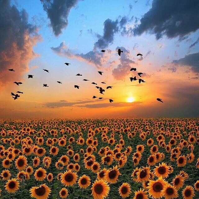 Campos De Girasoles En Rusia Beautiful Nature Nature Photography Beautiful Landscapes