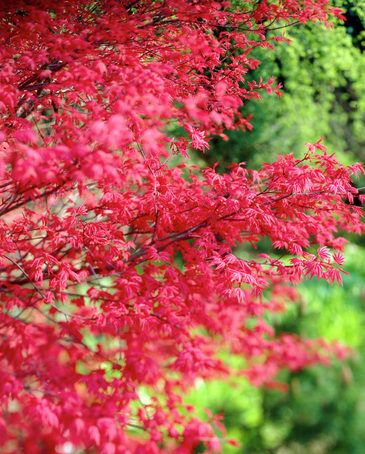 Acer Palmatum Corallinum Color Tough To Describe Maybe